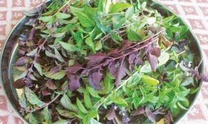 Mixed basil varieties being shade dried for culinary use