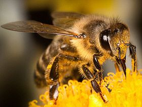 bee_pic