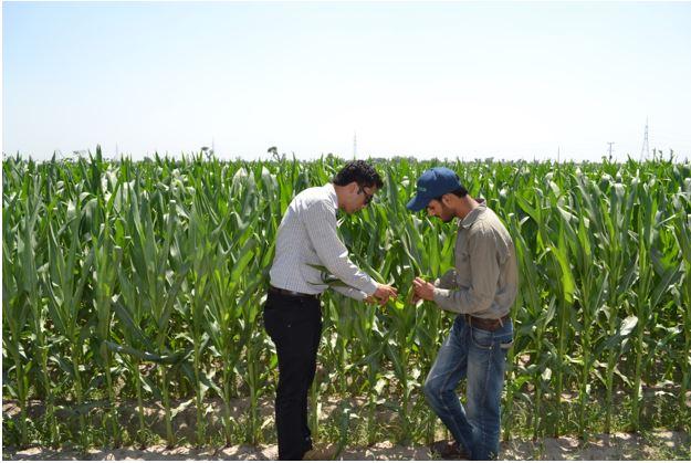 growing maize