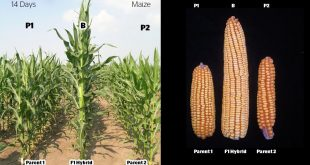 maize hybrid article