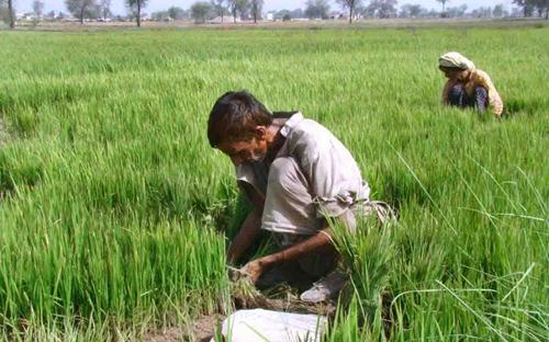 APP08-03 FAISALABAD: June 03 – Farmers plucking the seedlings of rice in their field. APP photo by Tasawar Abbas