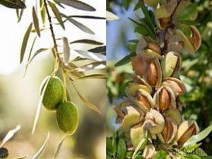 pakistan-has-tremendous-potential-in-pistachio-olive-farming-1440444453-9932