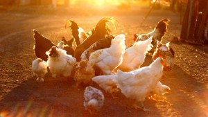 iStock_chickens poultry in setting sun(1) (Copy)