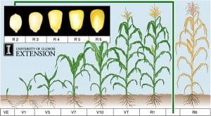 reproductive maize