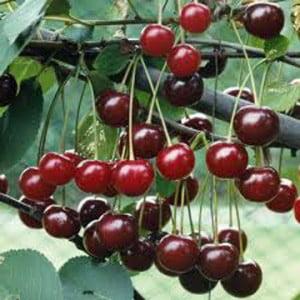 cherry-morello_large