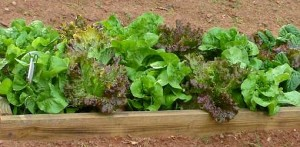 how-to-grow-lettuce-4