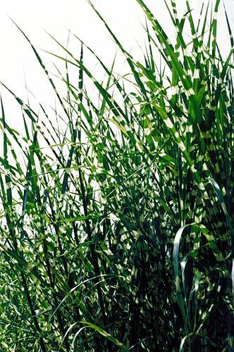 Ornamental grasses gaining modern popularity agrihunt for Modern ornamental grasses