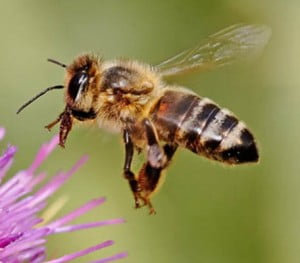 honeybee picture found at Wikimedia Commons