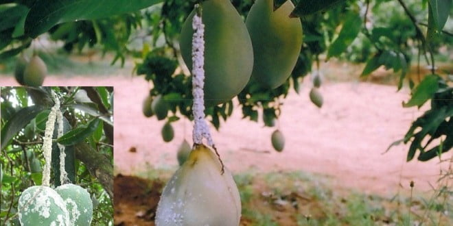 Image result for mango mealy bug
