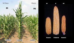 maize hybrid article