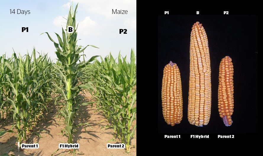 Hybrid Seed Production In Maize Agrihunt